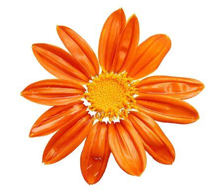watered: Orange flower in white background Stock Photo