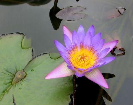 waterlillies: Exotic lotus, Vietnam