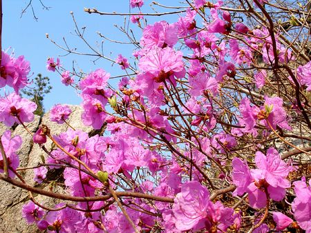 the japanese tea garden: Spring flowers, labrador tea, japanese tree   Stock Photo