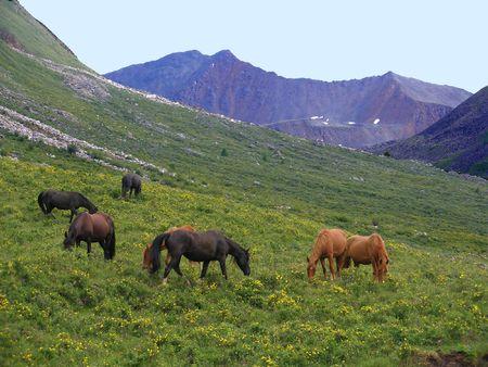 Wild horses, mountain pasture photo