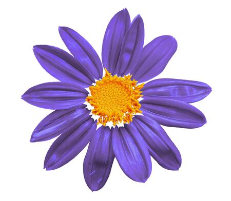 Design element - violet flower isolated on white        photo