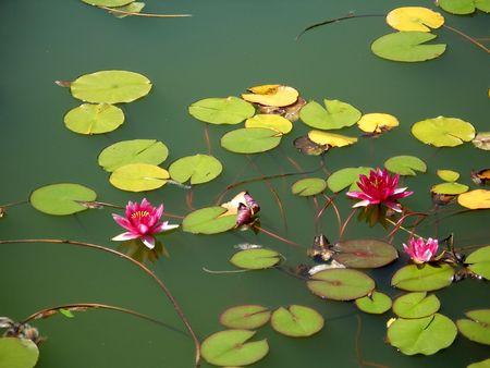 waterlillies: Waterlilies