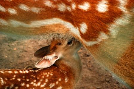 lactation: Fawn Stock Photo