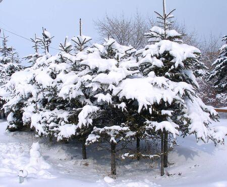 snowbound: Snowbound firs Stock Photo