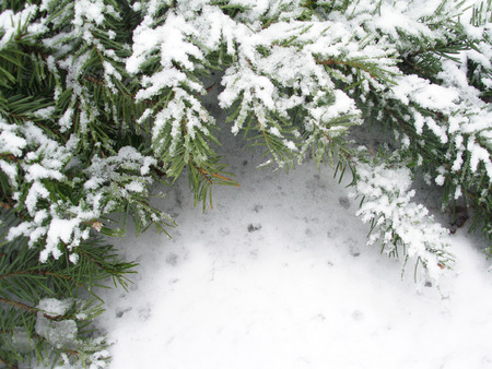 Snowbound branch of fir       photo
