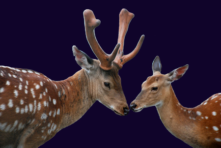 dearness: Couple - dappled deer