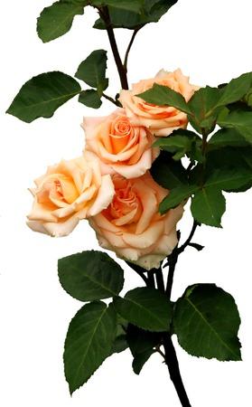 rose-bush: Rosebush wyizolowanych na białym