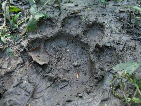 bearish: Bear footprint