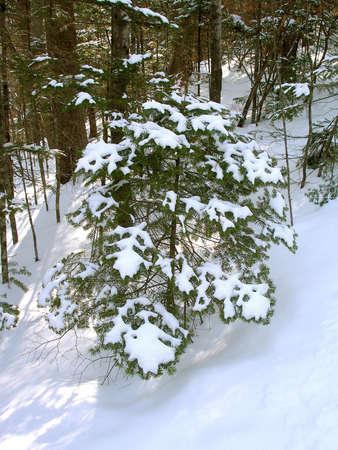 snowbound: Snowbound fir-tree