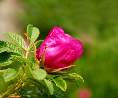 Flower of wild-rose photo
