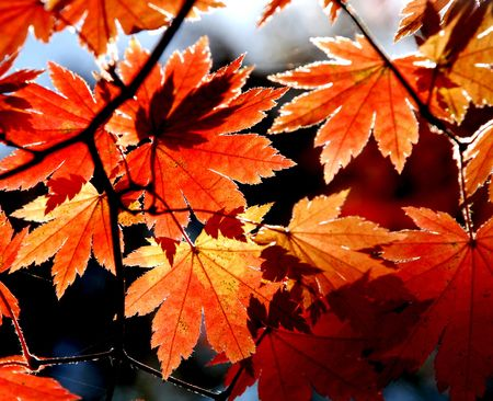 Leaves of autumnal maple photo