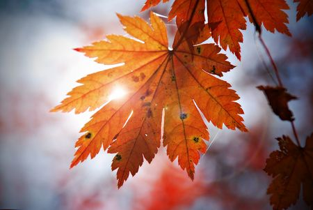 Autumnal leaf of maple and sunlight