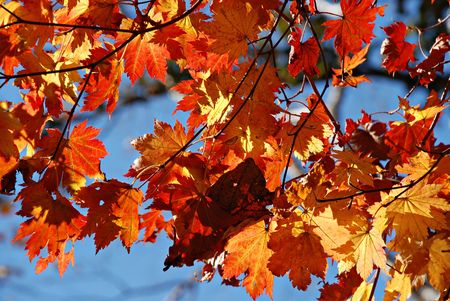 Autumnal leaves of maple Stock Photo - 3578872