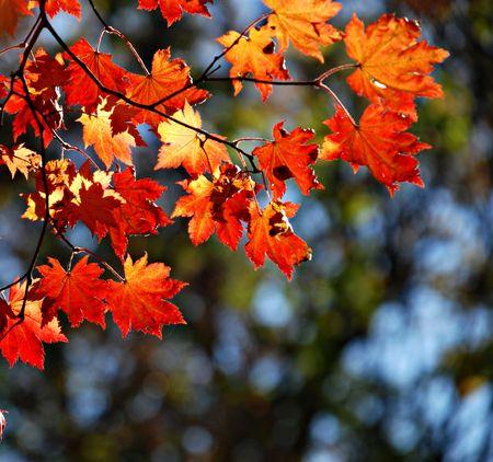 Autumnal maple, background Stock Photo - 3632910