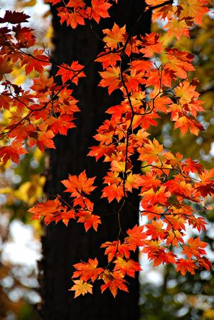 Autumnal maple Stock Photo - 3706669