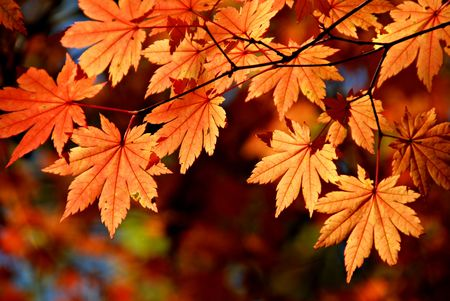 Autumnal leaves of maple