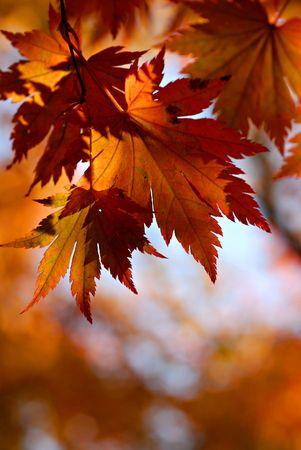 Autumnal maple Stock Photo