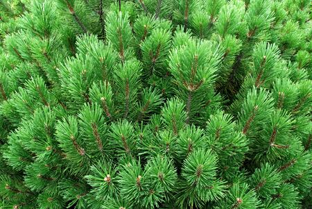 Young pines, needles photo