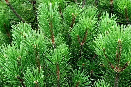 Young pine-tree, cedar, needles photo