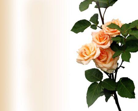 rose-bush: Rosebush, element projektu - karta z pozdrowieniami z