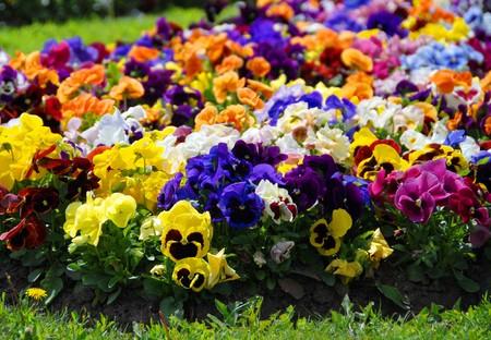 Heartsease, flower garden - close-up