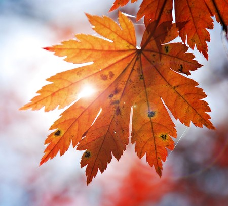 Autumnal design element - leaf of maple photo