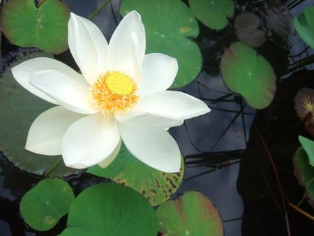 waterlillies: White lotus