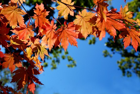 Autumnal leaves of maple, background for text Stock Photo - 4303371