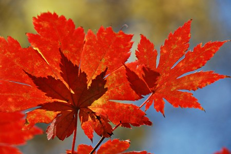Autumnal red maple leaves photo