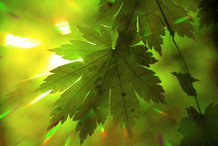 Rainbow rays, green maple leaf