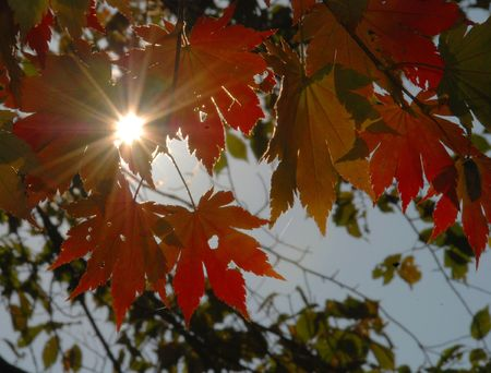 Autumnal sun, red maple leaves Stock Photo - 4697269