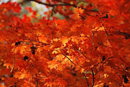 Autumn, red maple Stock Photo - 4951339