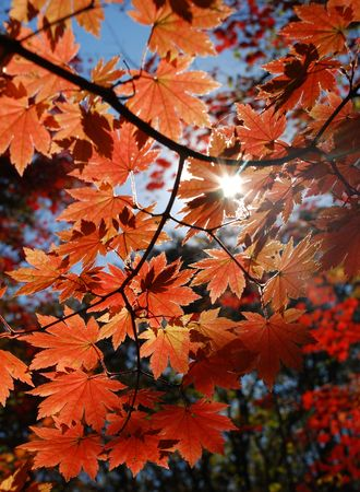 Autumn, red maple Stock Photo - 5071034
