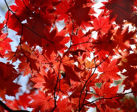 Autumnal texture, red maple Stock Photo - 5071040