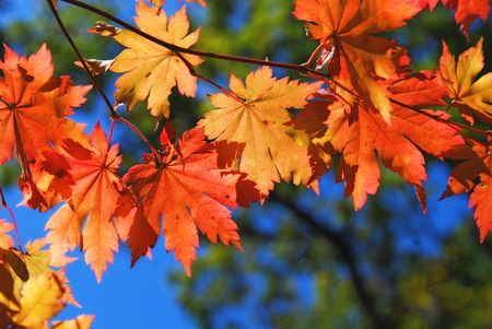 Autumnal foliage, colorful maple photo