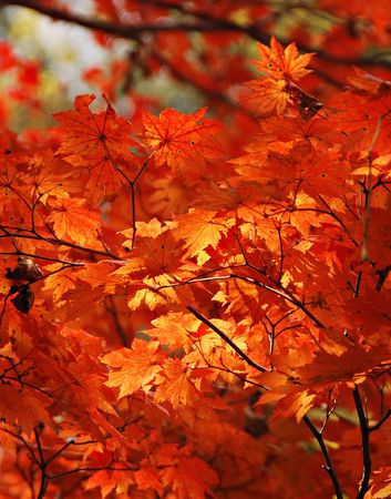 Autumn, red maple Stock Photo - 5071037