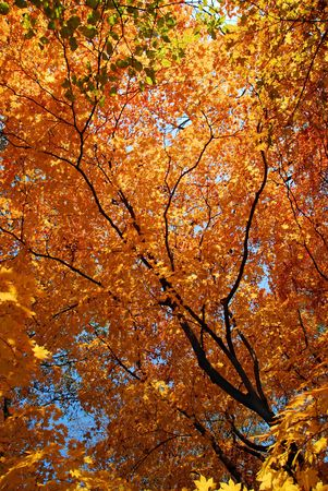 Yellow maple against sun, autumnal scene Stock Photo - 5071036