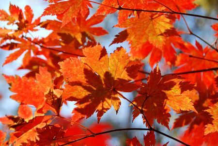 Red maple, autumn Stock Photo - 5071044