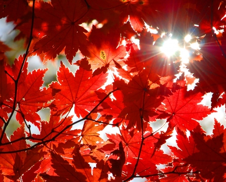 saturated color: Autumnal ornament, red leaves of maple