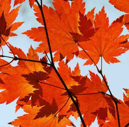 Autumn, red maple leaves Stock Photo - 5292329