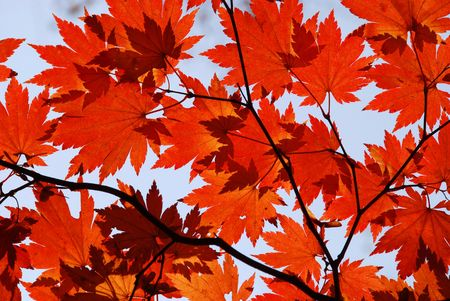 Autumn, red maple foliage Stock Photo - 5292332