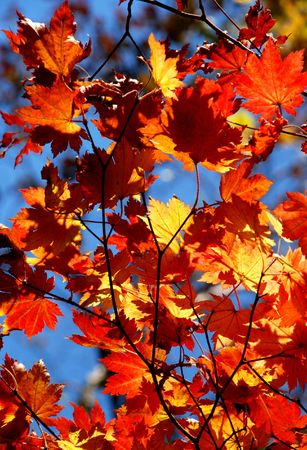 Autumnal leaves of maple photo