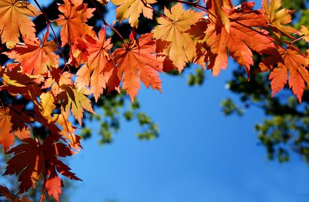 Autumnal leaves of maple, background for text photo