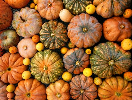 pumpkin patch: Autumnal pumpkins, harvest