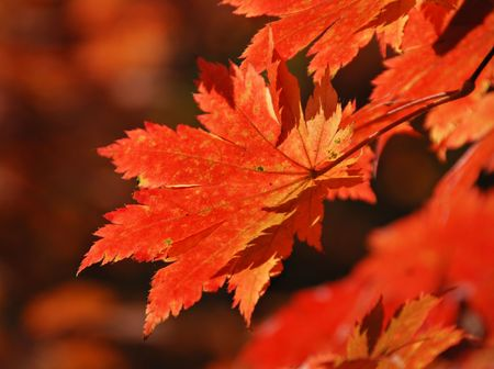 Red maple, autumn Stock Photo - 5720295
