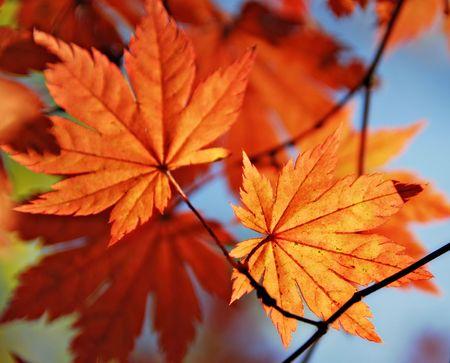 Autumnal maple leaf photo