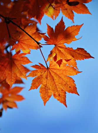 Maple foliage against sky, autumn Stock Photo - 5720294