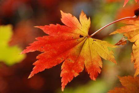 Autumnal maple leaf Stock Photo - 5720292