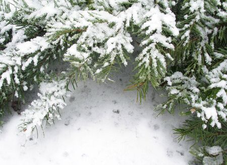 Branch of fir tree in snow, background for text