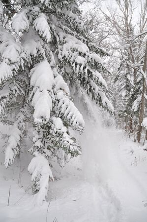 snowbank: Snowcovered firs, winter background